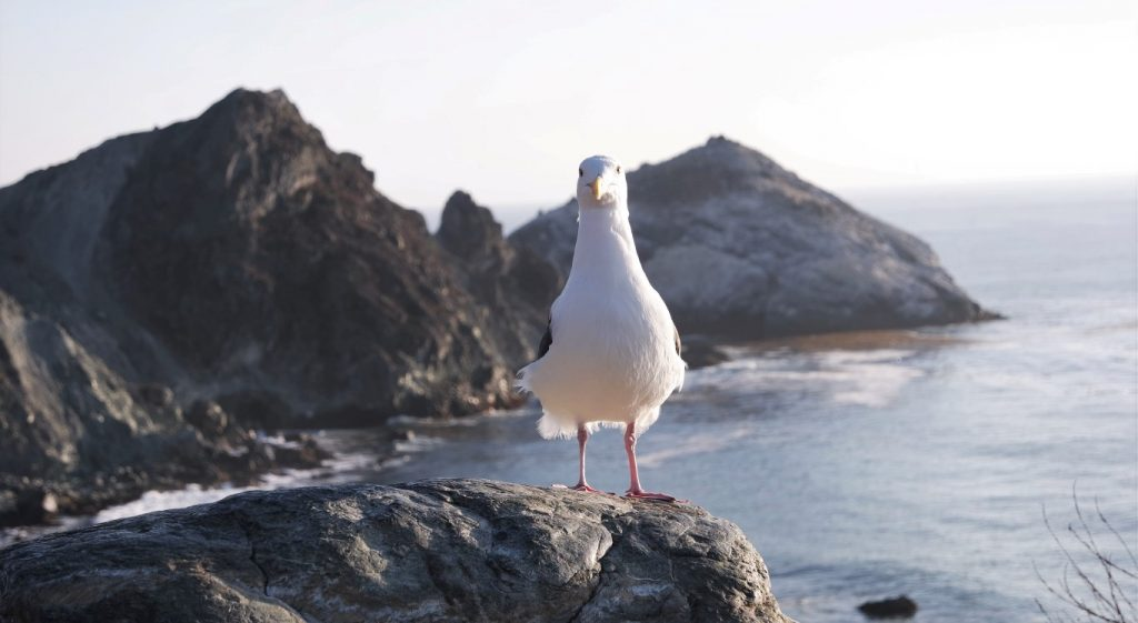 Seagull in Big Sur