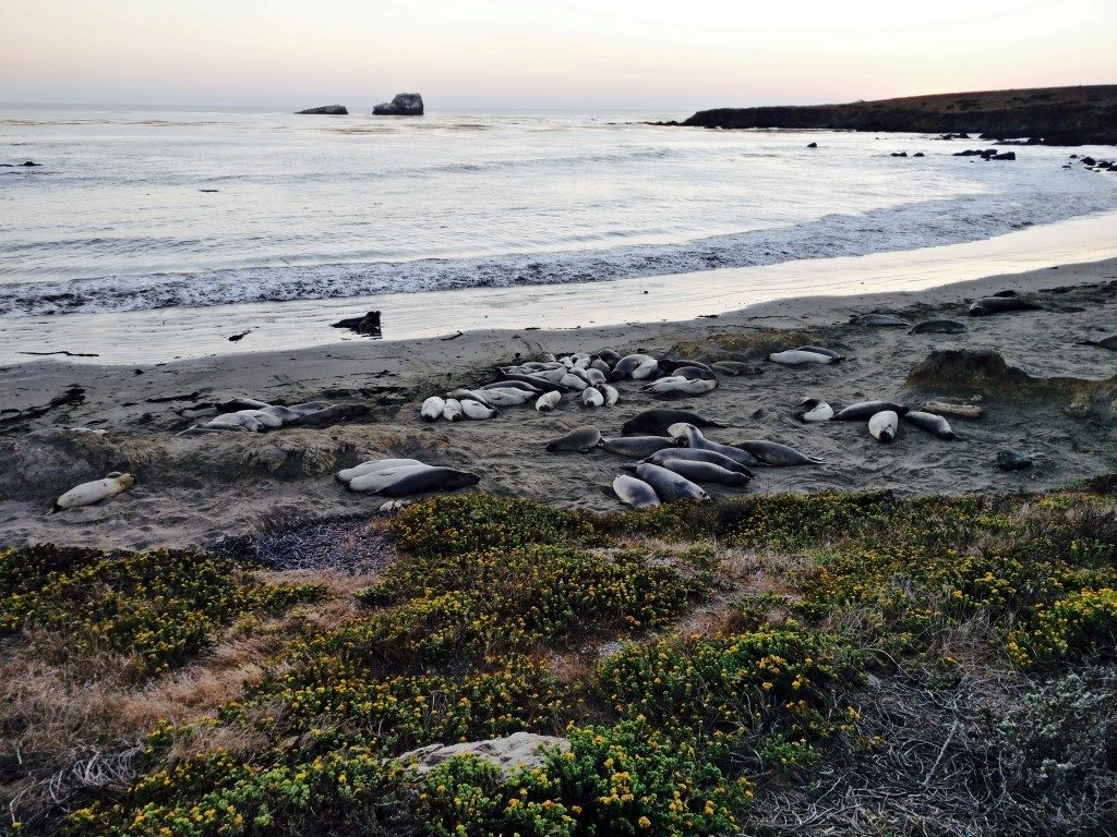 Elephant Seals on Highway 1