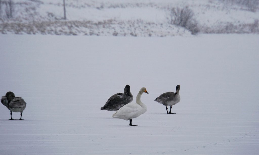 Geese on the lake in Lapland