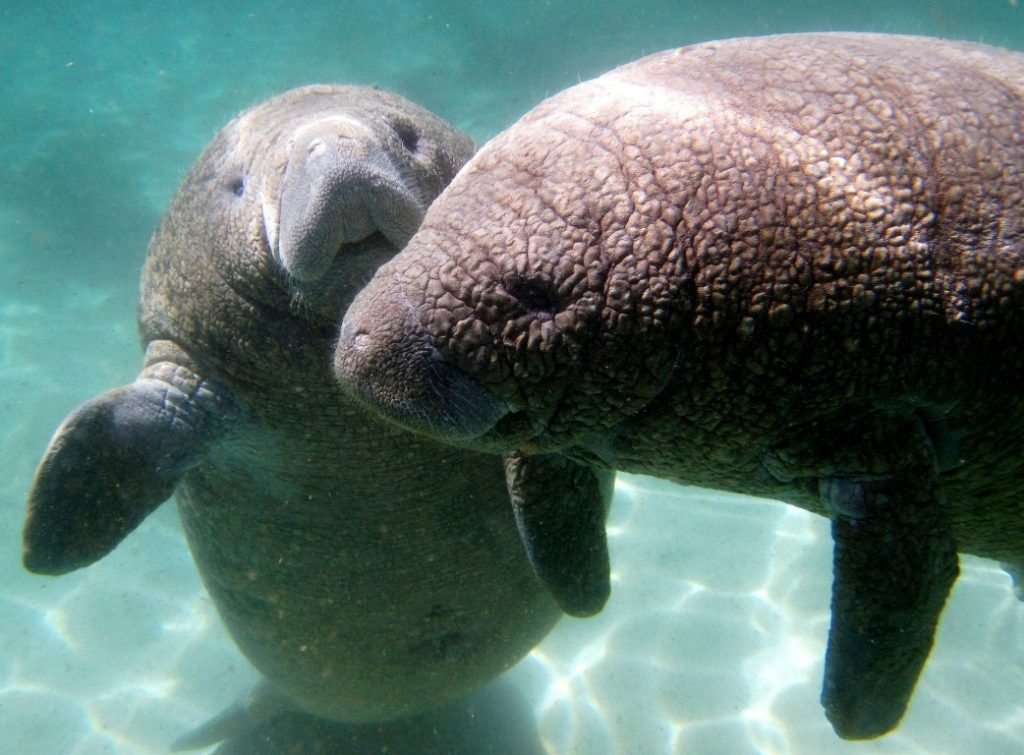 Manatees in the Crystal River Florida